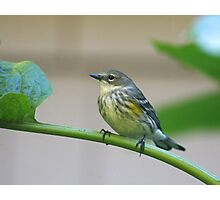 Yellow-rumped Warbler Photographic Print