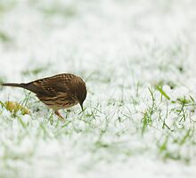 Meadow Pipit Hunting for Food by kernuak