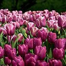 Tulips, tulips, tulips... by cclaude