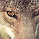 In the eyes of the coyote by Isabelle Lafrance