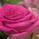 Pink Rose by Margaret Stanton