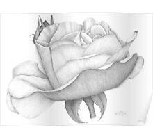 Distant Drum Rose Bloom Poster