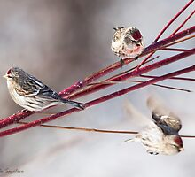 Common Redpoll on dogwood by Michaela Sagatova