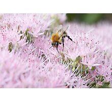 Pink Bee Photographic Print