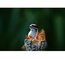 Downy Woodpecker Photographic Print