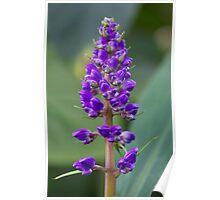 Purple Flower - Lupine Poster