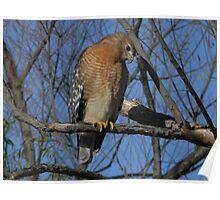 Red Shouldered Hawk - Chickenhawk? Poster