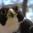 Peregrine Falcon by Erial