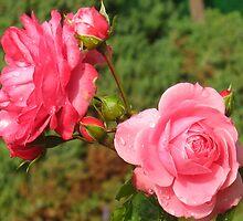 Flushing  Blushing Pink Roses by MarianBendeth