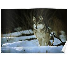 Mexican Grey Wolf Poster