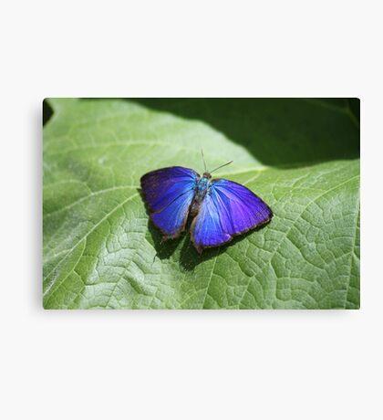 Oak blue 2 Canvas Print
