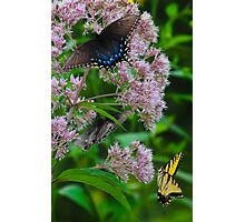 Eastern Tiger Swallowtail (Male and Female) Photographic Print