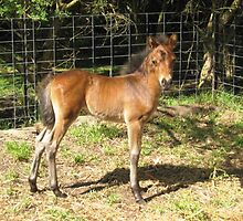 Teddy - English Riding Pony Colt by EdsMum