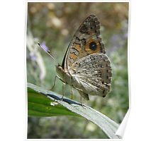 Meadow Argus Butterfly (Junonia villida) - Carrick Hill, South Australia Poster