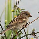 Little Sparrow by Gloria Abbey