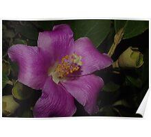 Mauve Beauty Lagunaria patersonia Poster