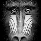 Portrait Of A Mandrill by Gary Brookshaw