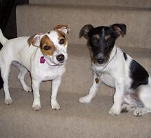 2 Jack Russells posing on the stairs by stevenw888