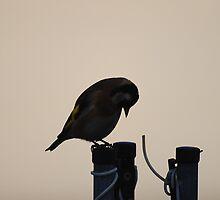 Sad little Goldfinch  by Declan Carr