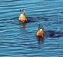 Mallard Ducks Diving by Andy Merrett