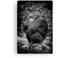 Sulking Chimp! Canvas Print