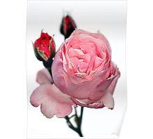 Oakbank Rose Poster