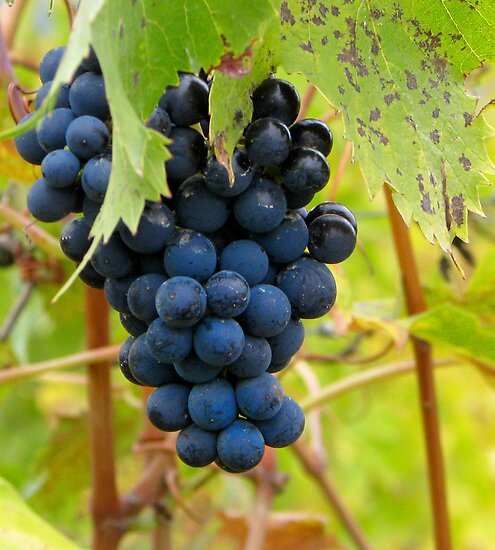 Grapes - Vineyard in Tuscany, Italy by ljroberts