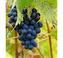 Grapes - Vineyard in Tuscany, Italy Photographic Print
