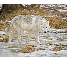 Wolf Walk Photographic Print