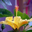 Yellow Hibiscus by SuddenJim