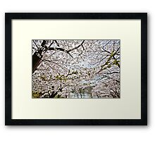 Sakura - Cherry Blossoms Framed Print