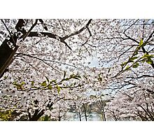 Sakura - Cherry Blossoms Photographic Print