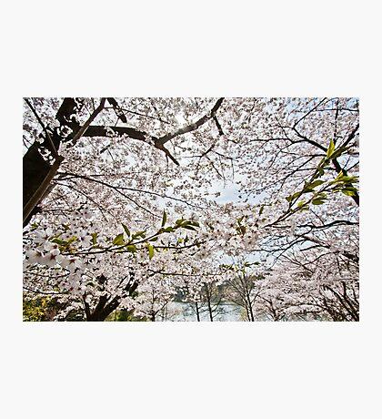 Sakura - Cherry Blossoms Photographic Print