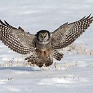 Air Brakes / Northern Hawk Owl by Gary Fairhead