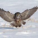 Air Brakes / Northern Hawk Owl by Gary Fairhead