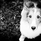 sheltie puppy by laureliz
