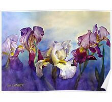 Bearded Irises Poster