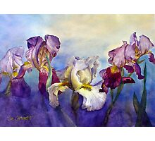 Bearded Irises Photographic Print