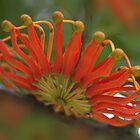 Firewheel flower by Daphne Gonzalvez