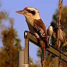 Willy and kookaburra by bobby1