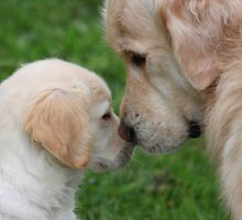 "Golden Retriever ""Archie"" welcomes puppy Freyja. by camuka"