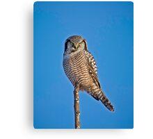 Perched Northern Hawk Owl  Canvas Print