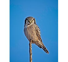 Perched Northern Hawk Owl  Photographic Print