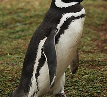 Unbelievable Magellanic Penguin by cute-wildlife