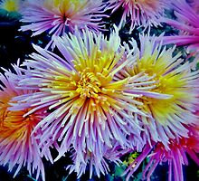 The star chrysanthemums by kindangel