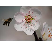 Bee in Flight with Almond Blossom Photographic Print