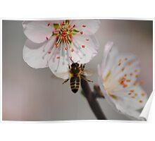 Bee in Flight collecting Pollen Poster