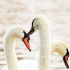 Swans by Nigel Bangert