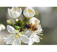 Bee collecting Pollen from Plum Tree Photographic Print