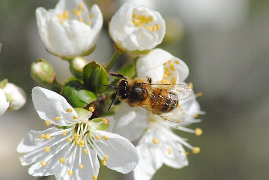 Bee collecting Pollen from Plum Tree by Heather Samsa